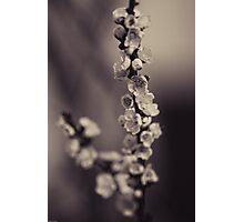 April Apricots Photographic Print