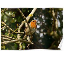 European robin  Poster