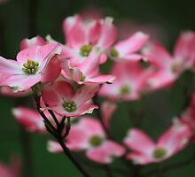 Pink Dogwood by Michael L. Colwell