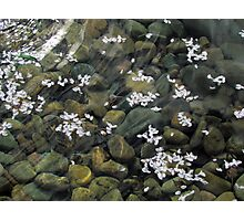 Fallen Blossoms Photographic Print