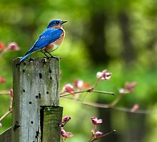 Eastern Bluebird Art by Christina Rollo