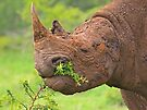 Black rhino - Imfolozi, South Africa by Dan MacKenzie