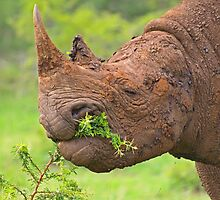 Black rhino - Imfolozi, South Africa by Explorations Africa Dan MacKenzie