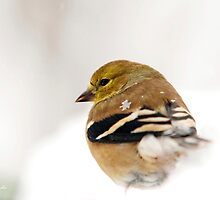 White Gold Goldfinch Art by Christina Rollo