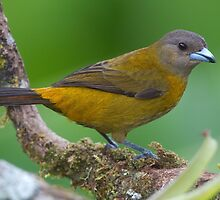 Female Passerini's Tanager - Arenal Observatory Lodge by Stephen Stephen