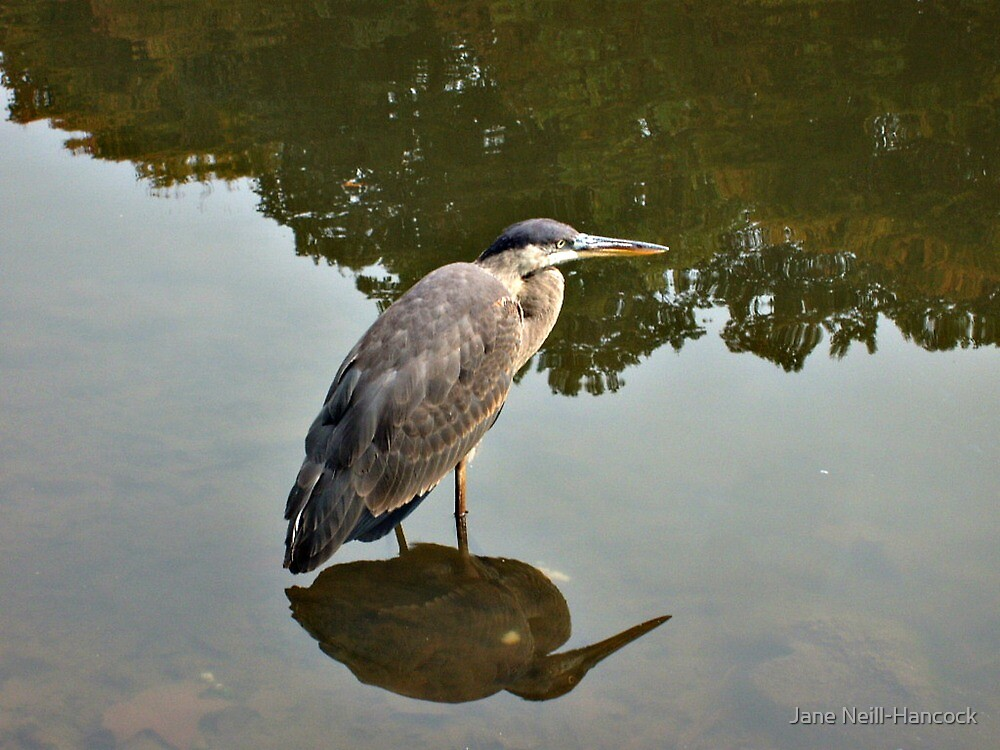 Great Blue Heron at Grover Cleveland Park, Essex Fells NJ - reflections2 by Jane Neill-Hancock
