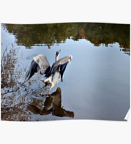 Great Blue Heron at Grover Cleveland Park, Essex Fells NJ - reflections3 Poster
