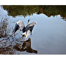 Great Blue Heron at Grover Cleveland Park, Essex Fells NJ - reflections3 Photographic Print