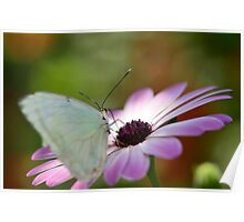 Southern White Butterfly  Poster