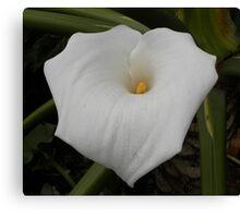 Arum lily / In die swartste modder groei die witste lelies ... Canvas Print