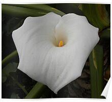 Arum lily / In die swartste modder groei die witste lelies ... Poster