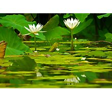 Lily Pad Photographic Print