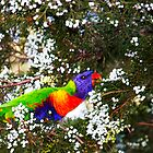 Lorikeet by Chris Brunton