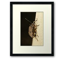 Toad Stink Bug - Platycoris sp. Framed Print