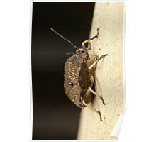 Toad Stink Bug - Platycoris sp. Poster
