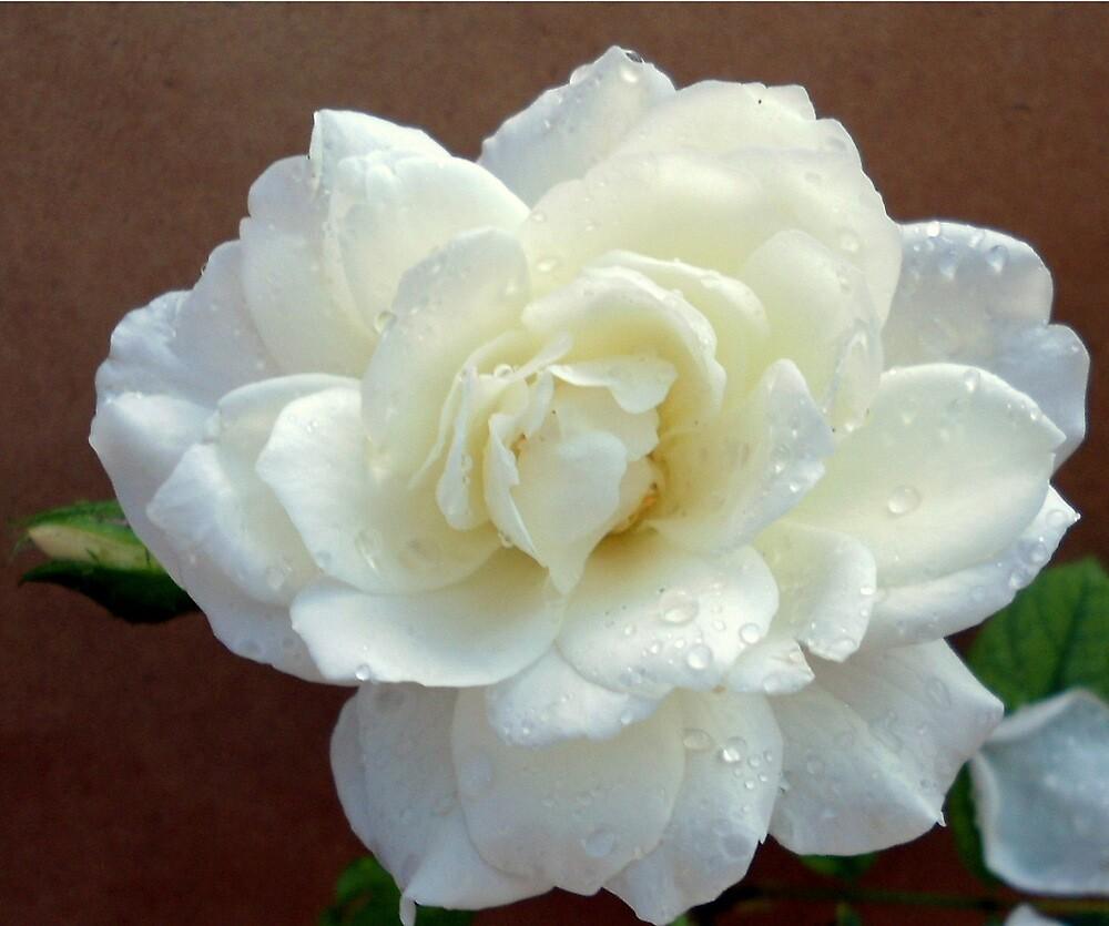 Raindrops on roses...! by Irene  van Vuuren