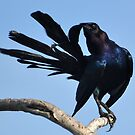 Boat-tailed Grackle Preening by Huckleberry20