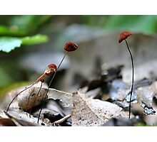 Red Marasmius Photographic Print