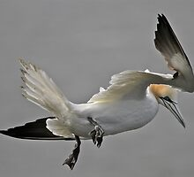 Gannet Landing by dilouise