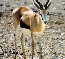 Springbok by Carole-Anne