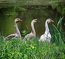 Three Geese by RickDavis
