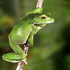 White Lip Green Tree Frog by Henry Molla   L.A.P.S.  P.S.Q.A.