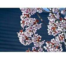 Cherry Blossom.. Photographic Print