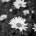 Monochrome Daisies by Owen Franssen