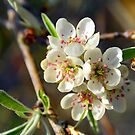 Pear Blossom by 7horses