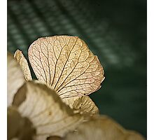 Dried Hortensia Photographic Print