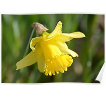 Simple Yellow Daffodil... Poster
