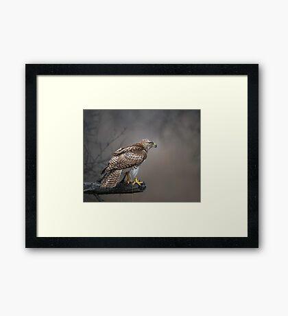 Hawk Encounter  Framed Print
