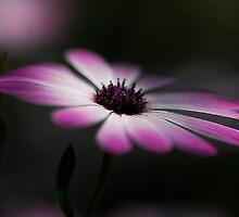 Spring Daisy  by Saija  Lehtonen