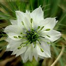 &quot;Nigella&quot; or &quot;Love in the Mist&quot; by Laurel  Coleman