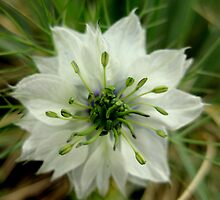 """Nigella"" or ""Love in the Mist"" by Laurel  Coleman"