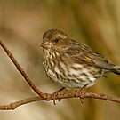 FEMALE PURPLE FINCH by Sandy Stewart