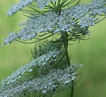 Queen Anne's Lace by Tracy Faught