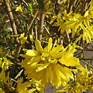 Golden Forsythia Flower by BlueMoonRose