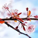 Flowering Purple Sand Cherry Tree by Tracy Friesen