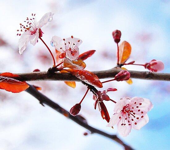 Flowering Purple Sand Cherry Tree by Tracy Friesen