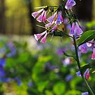 Virginia Bluebells - Bull Run, Manassas, VA by Matthew Kocin