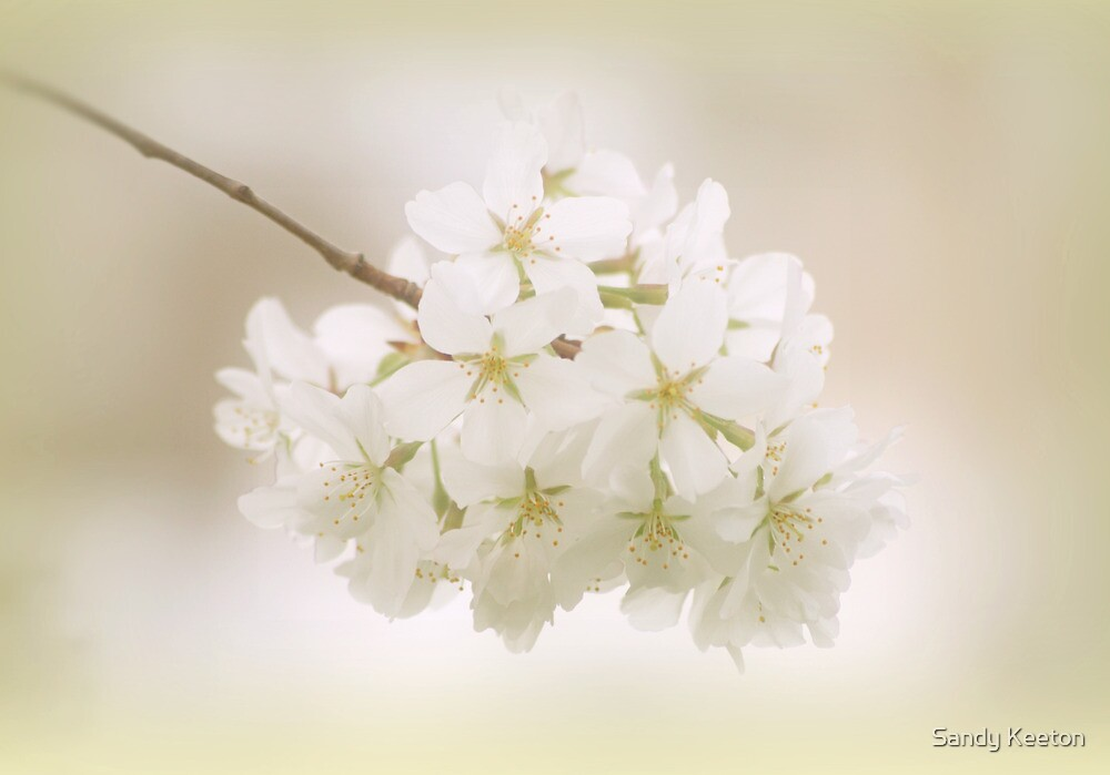 Cherry Tree Blossoms by Sandy Keeton