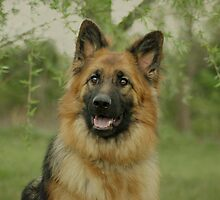 Queena - German Shepherd by Sandy Keeton