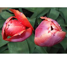 Dynamic Duo - Pretty Tulip Pair Photographic Print