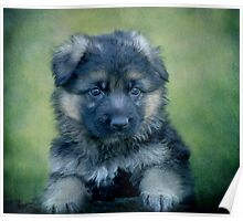 Long Coated German Shepherd Puppy Poster