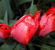 Fiery Beauties - Red Windswept Tulips by MidnightMelody