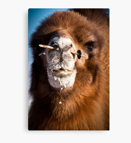 Bactrial camel Canvas Print