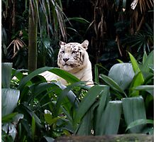 Asian White Tiger Photographic Print