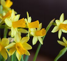 Yellow Narcissus  by MikkoEevert