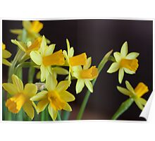 Yellow Narcissus  Poster